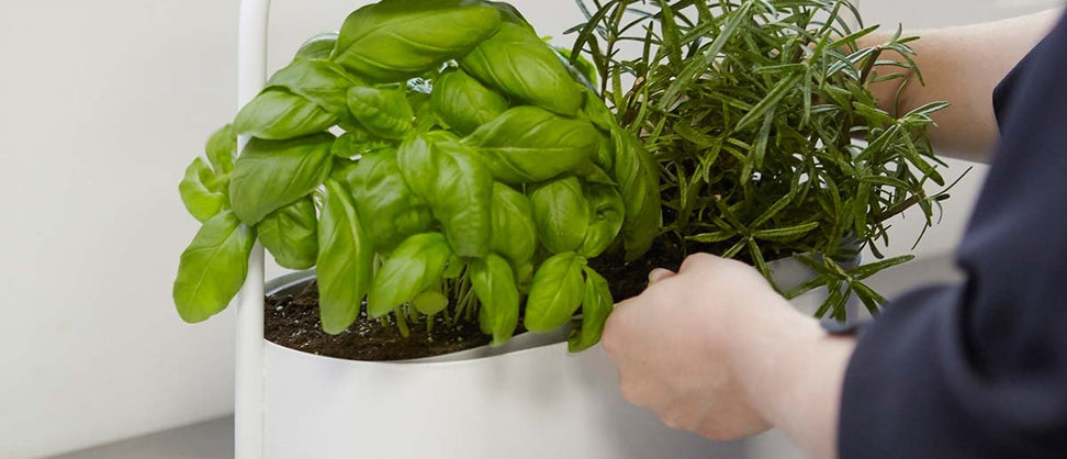 Growing Practical and Tasty Herbs in the Kitchen – Indoor Gardening Made Easy