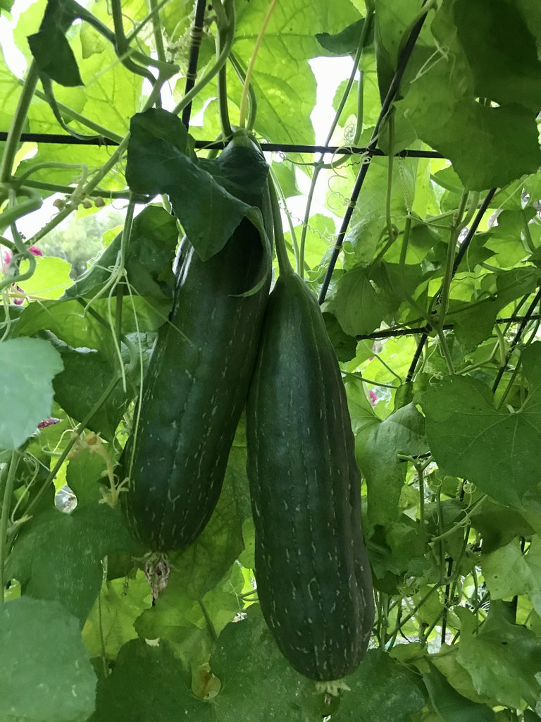 Loofahs on a vine