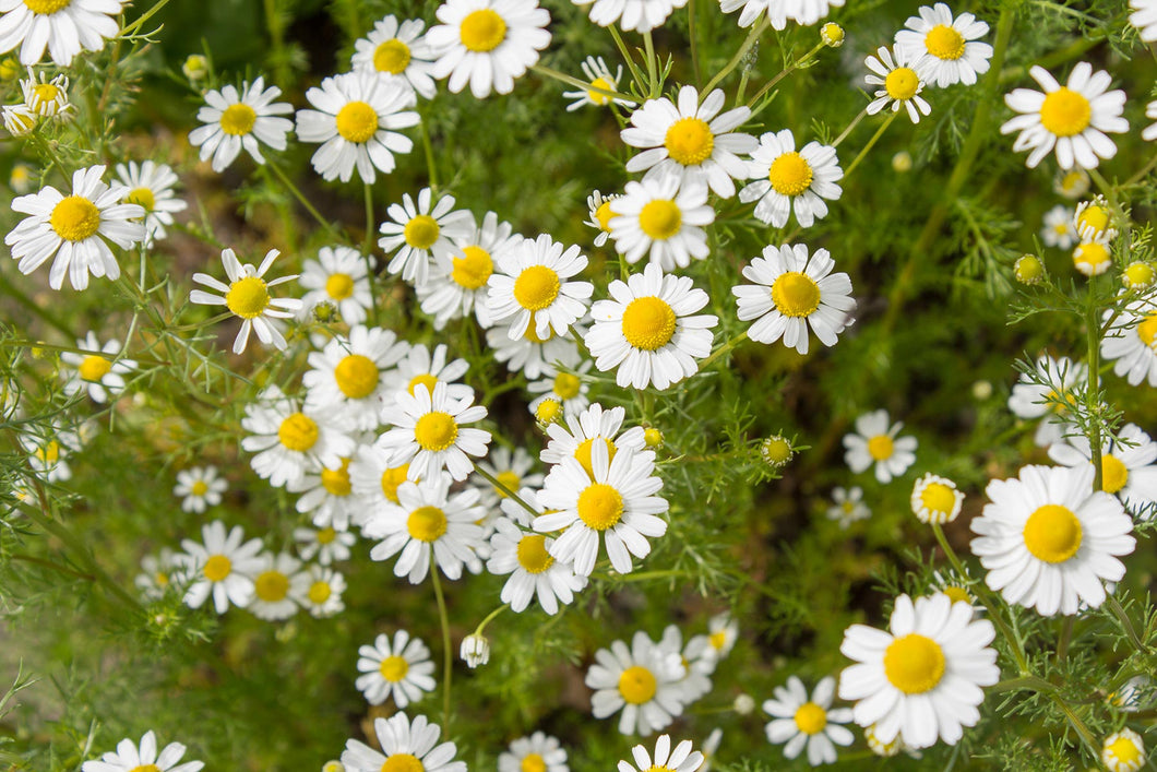 Chamomile by Green Houston 2000 Seeds