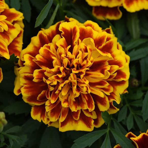 French Marigolds by Green Houston - 315 Seeds
