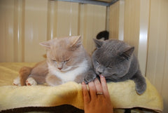 Stud Buddies – Keeping two British Shorthair stud boys together