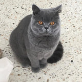 British Shorthair Cuddleton Baroness Lucille