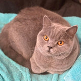 British Shorthair Cuddleton Lord Dustin