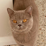 British Shorthair Cats and Kittens Colours and Patterns