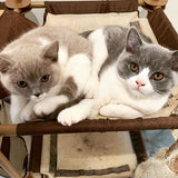 Cuddleton British Shorthair Cats and Kittens