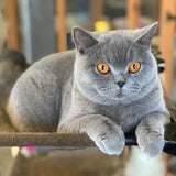 British Shorthair Cuddleton Baroness Violeta