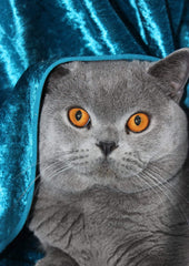 British Shorthair Cuddleton Baron Herbert