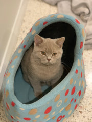 Cuddleton Lady Celeste Fawn British Shorthair