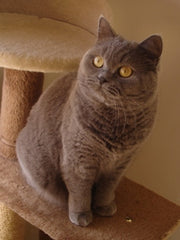 Poppy British Shorthair