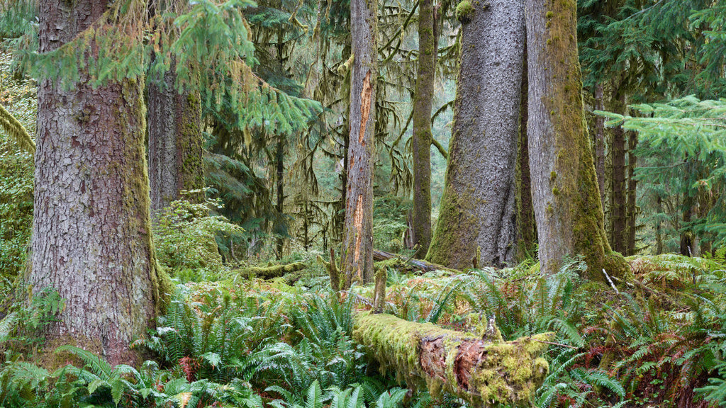 Jin-woo Prensena, 'Hoh Rainforest', Washington State - Provocateur Gallery