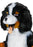 Bernese Mountain Dog Mascot