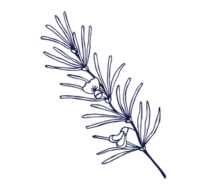 Navy sketch of rooibos plant