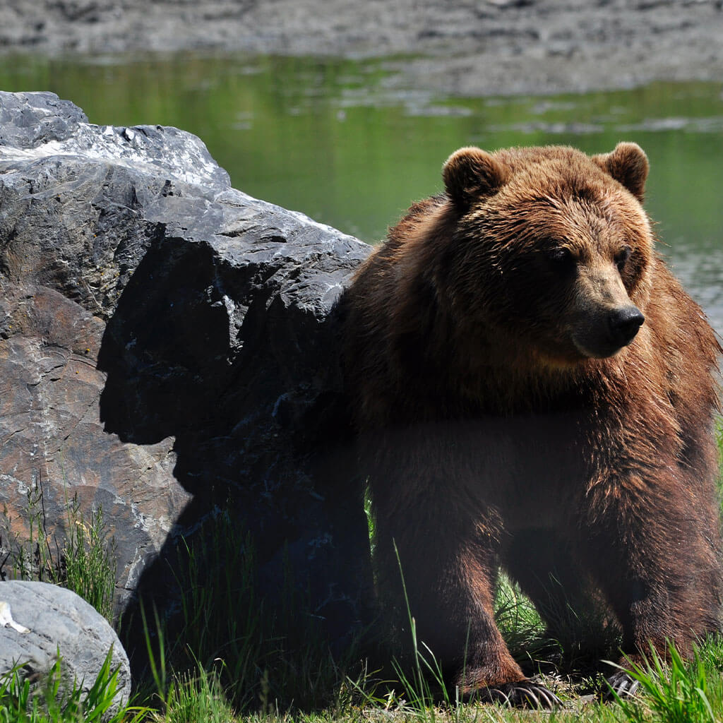 brown bear by rock with river in the background