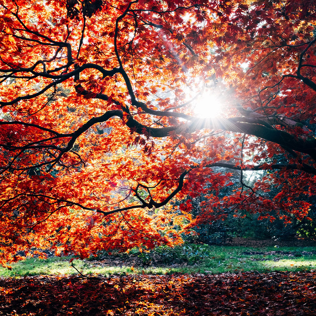 Sun shining through multi-colored fall leaves on tree