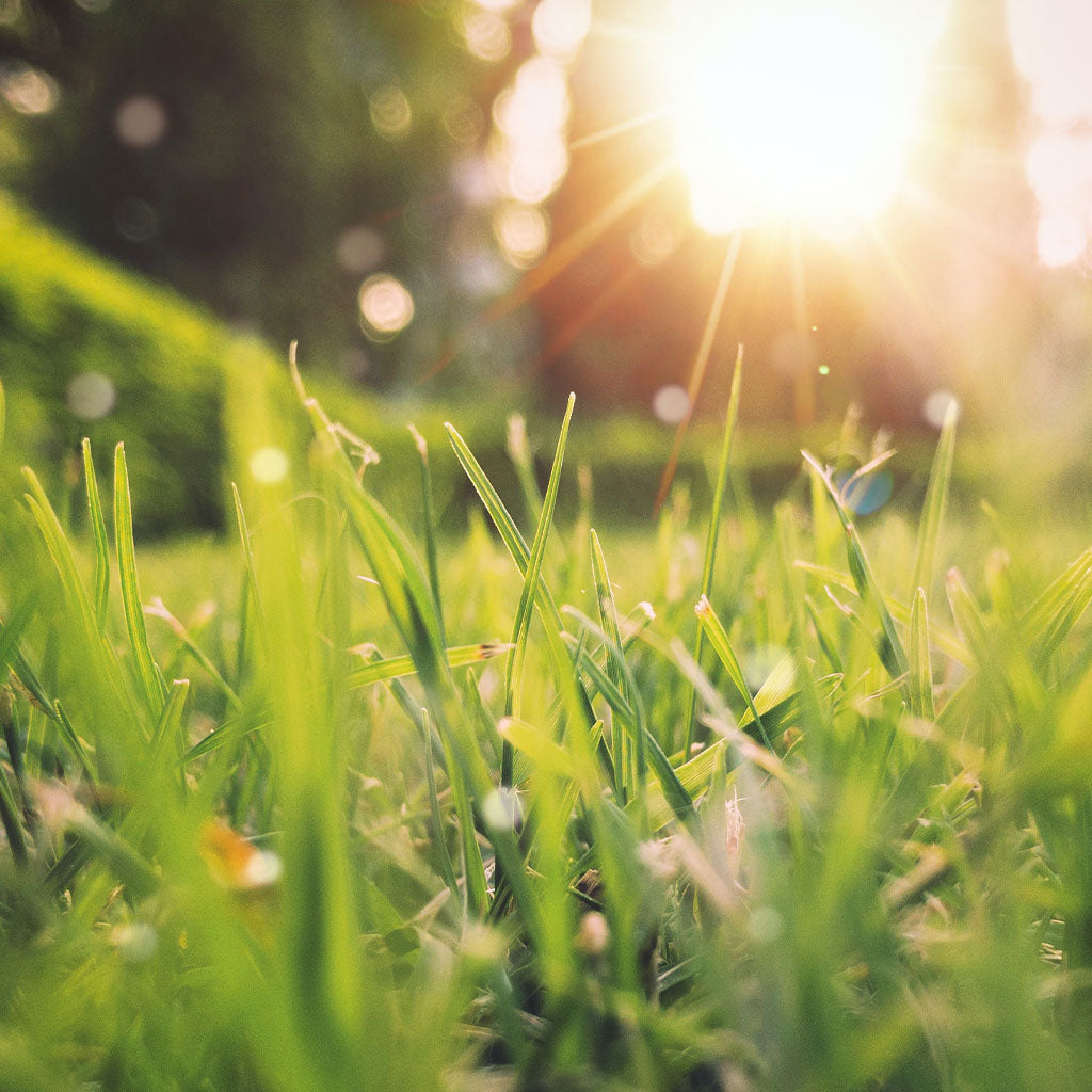 close up of green grass with sun setting in background
