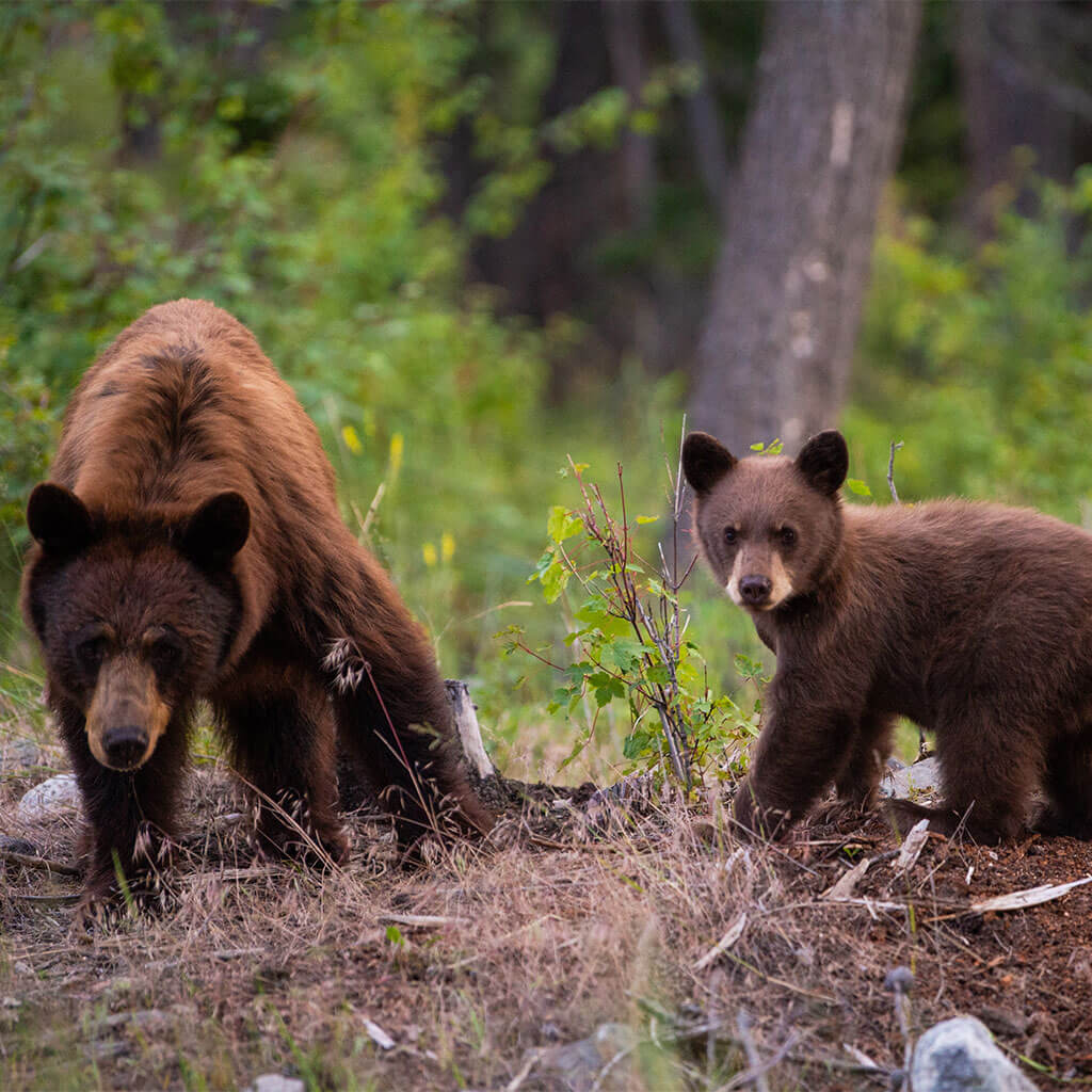 mama bear and cub in forest