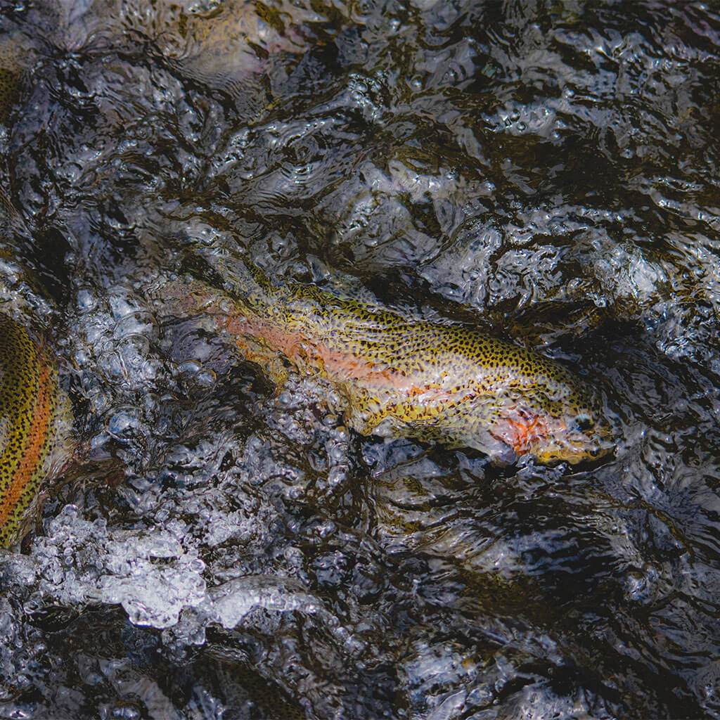 Rainbow trout in water