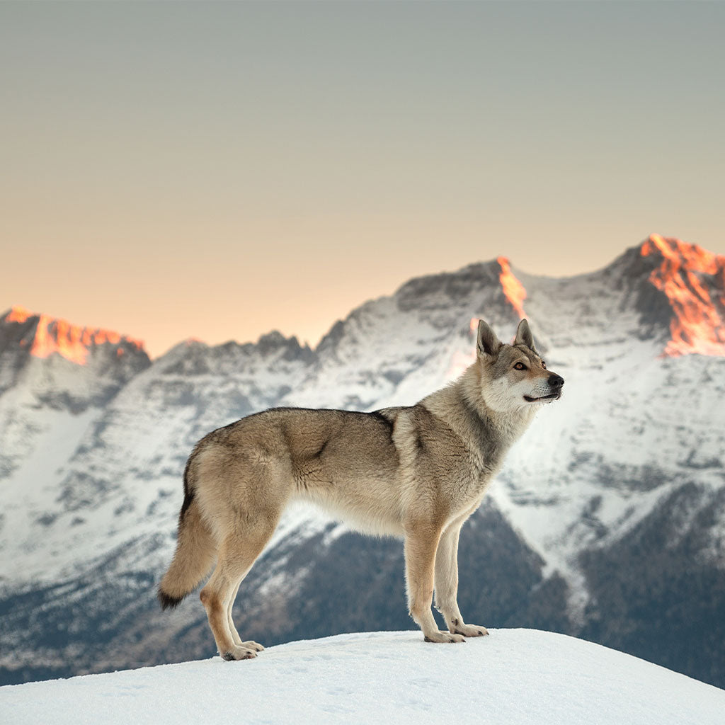 wolf standing in snow with mountain range all around