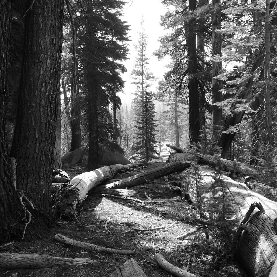 black and gray picture of forest showing large trees along with fallen trees and logs scattered alongside and across trail