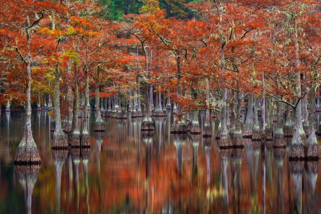 Red and yellow leaves on trees in Okefenokee Swamp