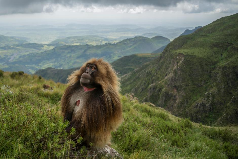 2017 Essay Winner Jeff Kerby's image of Guassa Gelada monkey on grassy mountain hillside