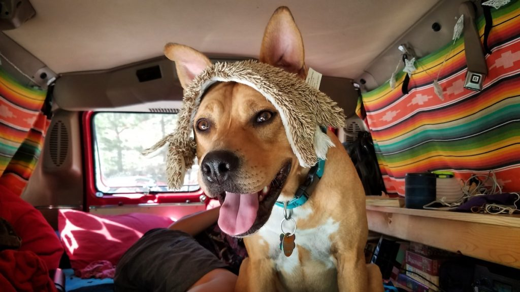 A tan dog with perky ears and an open smile sits in the back of a van with a fuzzy dog toy draped over its head.