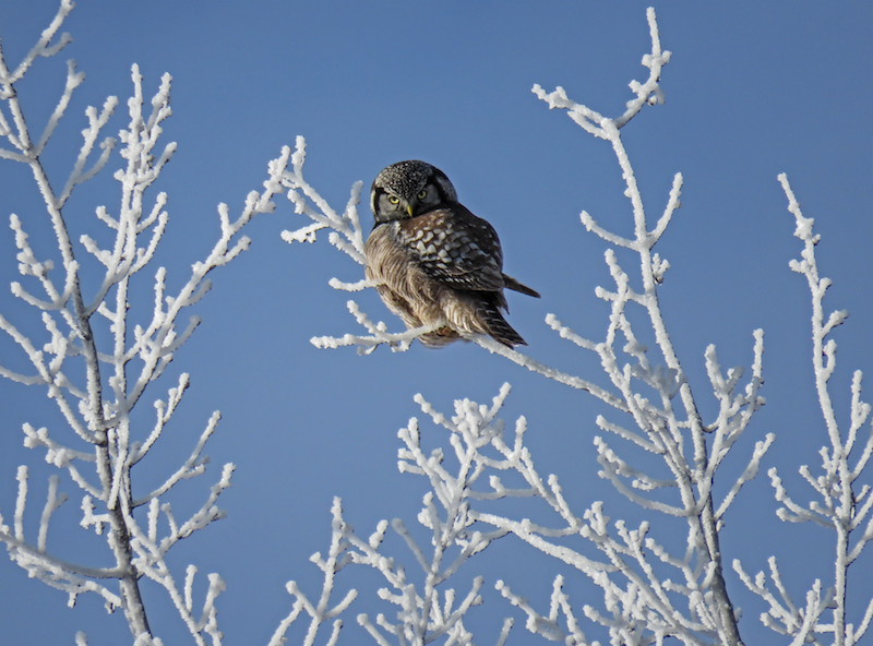 brown owl in snowy tree during day