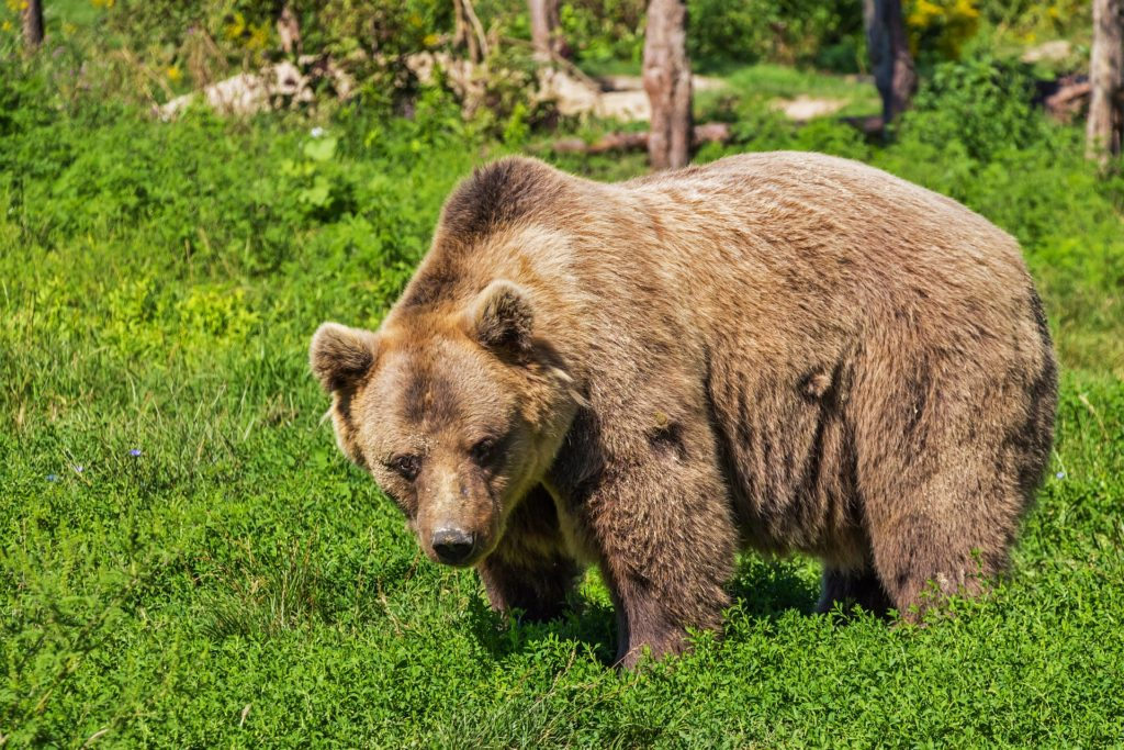 Large brown grizzly bear in grassy forest meadow.