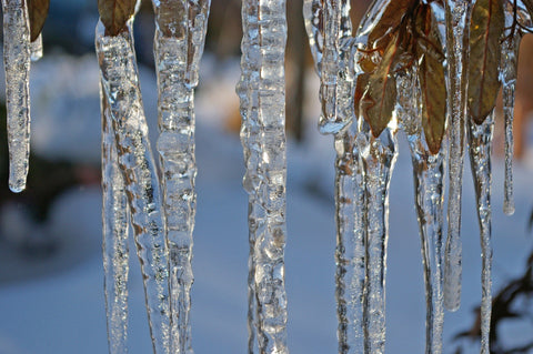 Icicles hanging from tree.