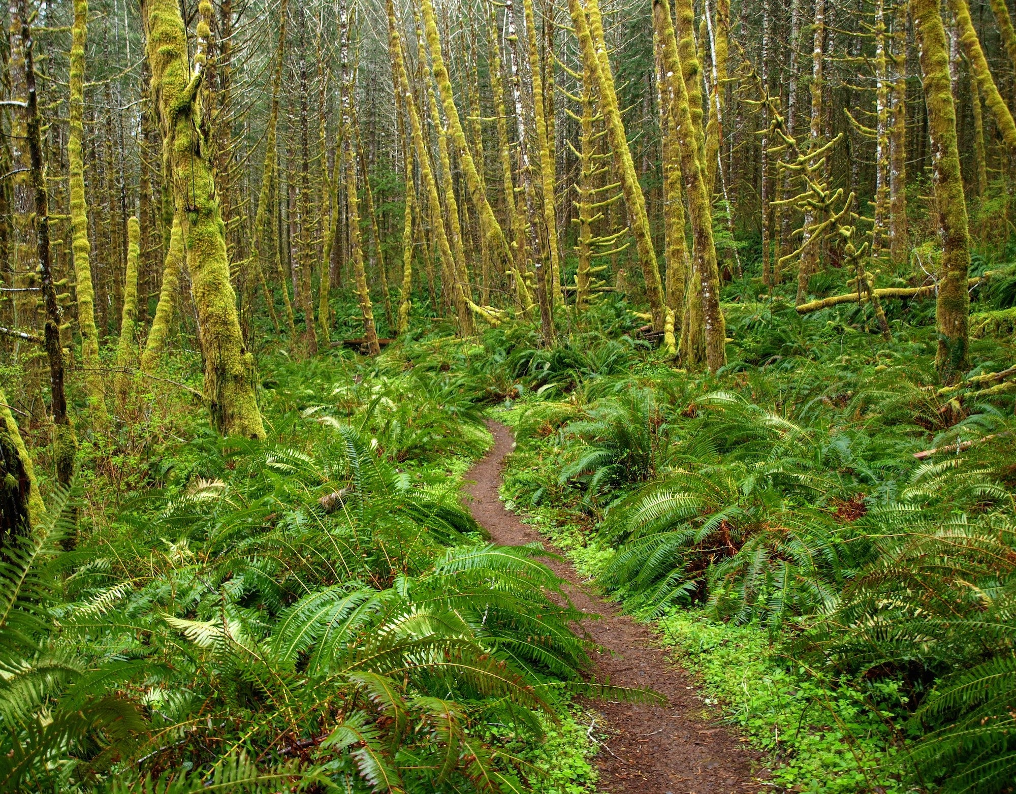 image of oak trees covered in moss with a dirt trail running through a fern covered ground and trees after rainfall