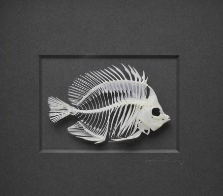 11x14 Butterfly Fish Skeleton in Bleached Hardwood on Cotswold