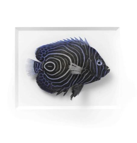 11 x 14 Emperor Angelfish in White Aluminum