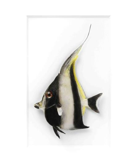 11 x 14 Moorish Idol Fish in White Aluminum