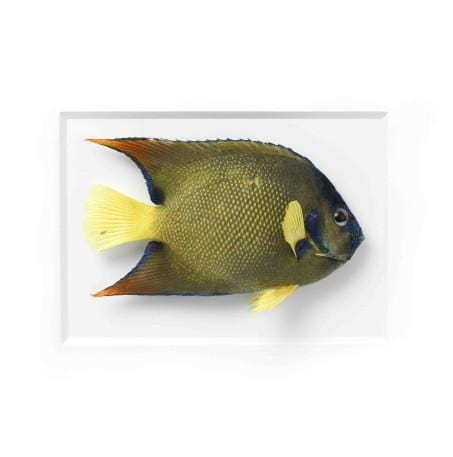 14 x 18 Queen Angelfish in White Aluminum
