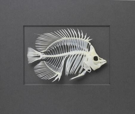 18x14 Threadfin Fish Skeleton in Bleached Harwood on Cotswold