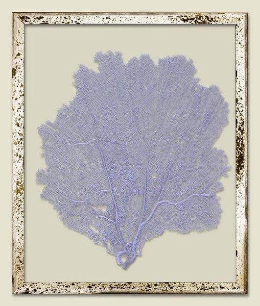 Sea Lavender Sea Fan