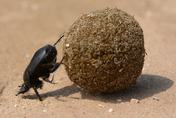 photo of a dung beetle