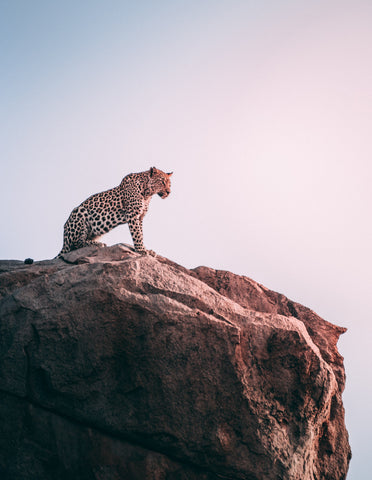 Leopard, Cliff, Looking down