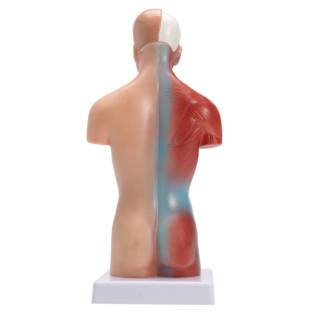 "Realistic Torso Model™ - ""When I speak the words, my patients get scared. When I show them the process, they feel relieved.""  - Dr. Tiffany"