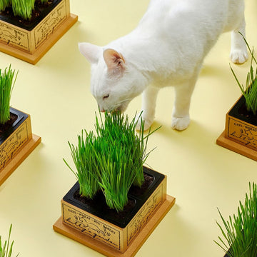 Kitty's Garden Cat Grass