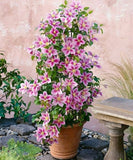 Climbing Clematis Bonsai Flowers