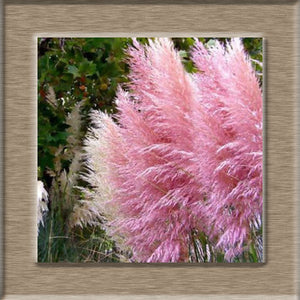 100 Pcs New Rare Impressive Purple Pampas Grass