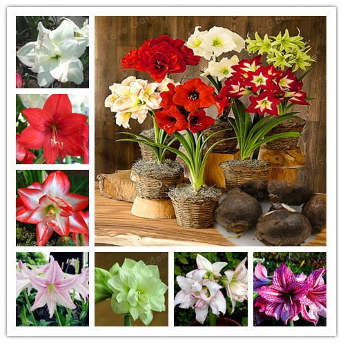 2 Bulbs Amaryllis Bulbs True Hippeastrum