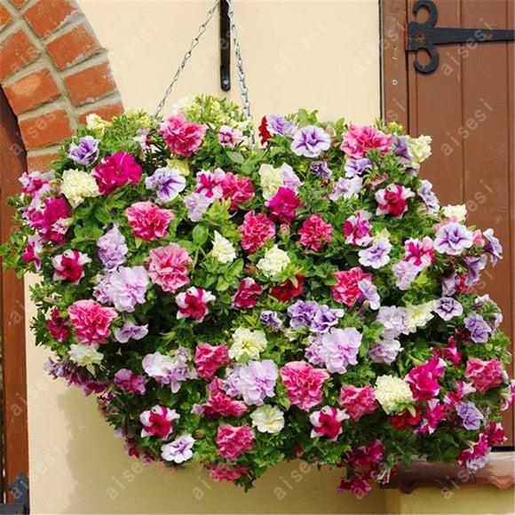 Bonsai 100 pcs/bag Petunia flower seeds
