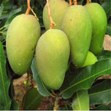 100% True Mango Plants Very Delicious Fruit