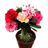 Hot Sale Desert Rose Rare Flower Indoor Bonsai