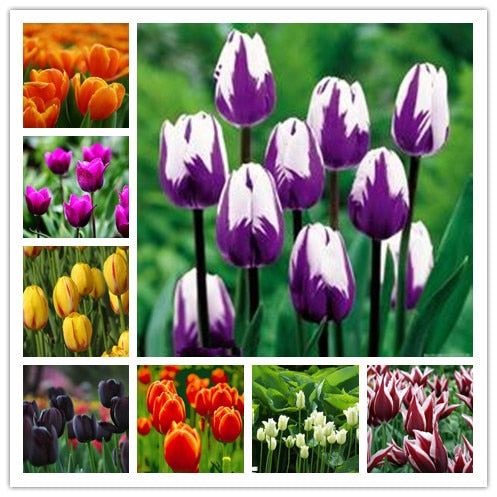 200 Pcs Tulip Bonsai Tulip Flower