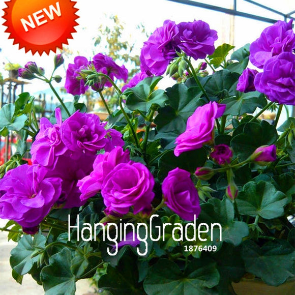 20 Pcs/Bag Purple Univalve Geranium