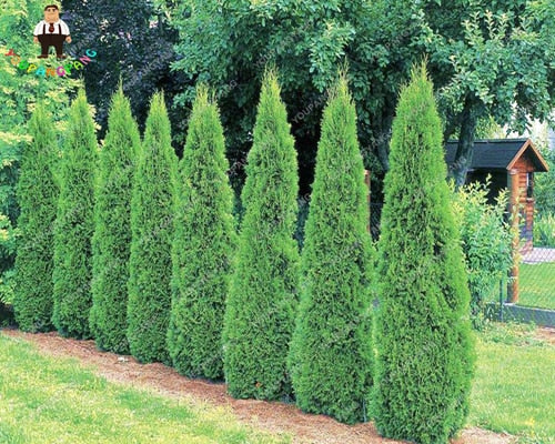 Hot Selling 50pcs Cypress Tree Seeds