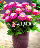 Hardy Heat-resisting Different Perennial Dahlia Flower Plants